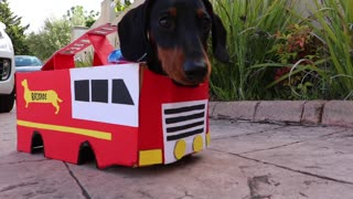 Miniature Dachshund is a one-pup fire brigade - Video