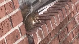 Squirrel Goes to Town on a Chicken Wing