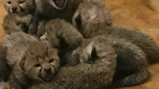 Cheetah Gives Birth To Record Number Of Cubs - Video