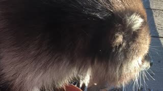 Rescued Raccoon Playing with Colored Rocks in Watering Dish