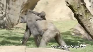Baby gorilla with tough birth shows independence - Video