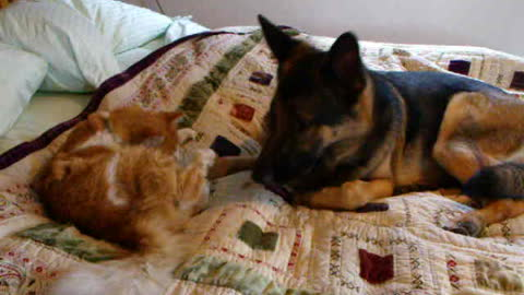Missing cat reunites with German Shepherd