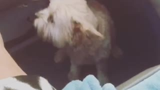 Small tan dog tries to jump on cushion and falls off  - Video