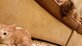 Huge Cat Trying to play with a scared little kitty - Video