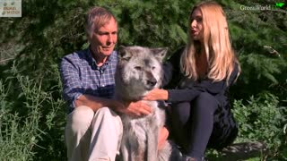 The Oldest Wolf in The World Is So Adorable! - Video