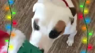Dog receives his pickle christmas present grabs it and runs away - Video