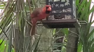 Cardinal Having Lunchtime