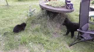 German Shepherd Puppy meets cat  - Video