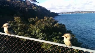 Kookaburra singing - Video