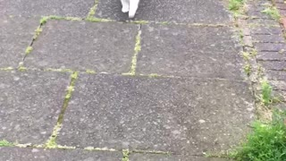 Cat loves to go for walks with her human  - Video