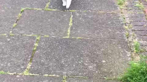 Cat loves to go for walks with her human
