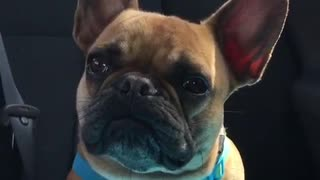 George the Frenchie receives terrible news - Video