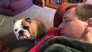 Bulldog Begs Owner For Attention   - Video