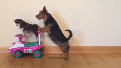 Dog Pushes Friend on Toy Scooter