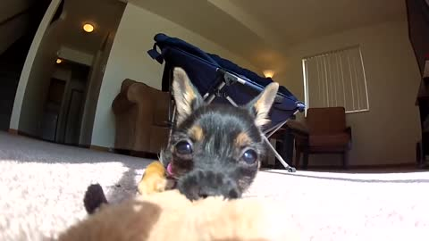Cute Puppy Playing