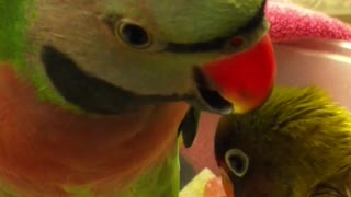 Parakeet Says I Love You Baby - Video