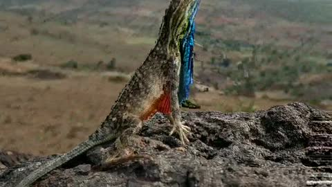 Beautiful Display from the Fan-Throated Lizard