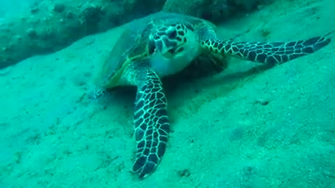 Giant Green Sea Turtles in the Red Sea 2, eilat israel