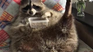 Raccoon Is Too Hungry To Pose For Pictures