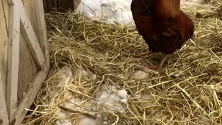 Water Buffalo Cleans Rooster Pal - Video