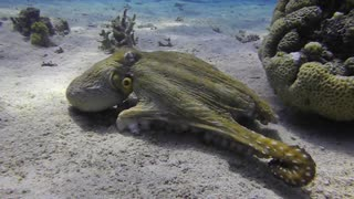 Two octopuses swimming in the Red Sea, eilat israel - Video