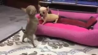 dispute between two small dogs - Video