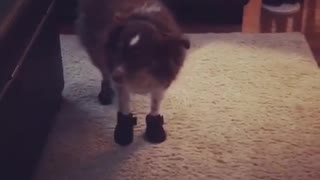 Brown dog on carpet with shoes socks on doesnt like it