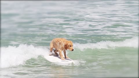Cute Golden Retriever Learning to Surf