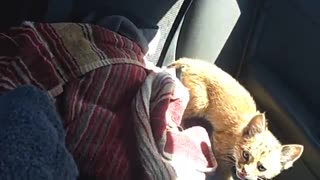 Nervous Rescued Bobcat Kitten Explores Car