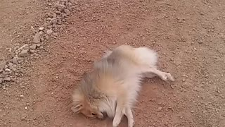 Dog decides to give himself a dirt bath - Video