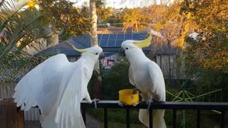 Two Cockatoos fighting..Backup arrives