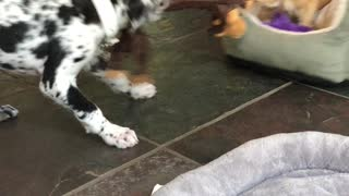 Little puppy big puppy playing
