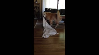 Golden Retriever takes his favorite blanket everywhere - Video