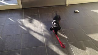 Dangerous puppy attacks human in the hallway  - Video