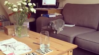 Collab copyright protection - bunny tries to jump off couch falls - Video