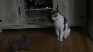 Gray cat jumping around while white cats looks at it  - Video