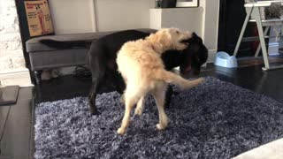 Big brother dog teaches little dog how to play