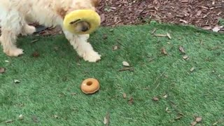 Golden dog with donut toy stuck to head - Video