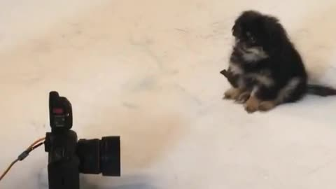 Pekingese puppy is a natural model