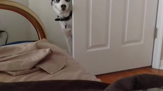 Husky howling at Mom to wake up