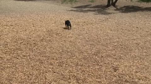 Indiana the Bulldog Goes to the Park
