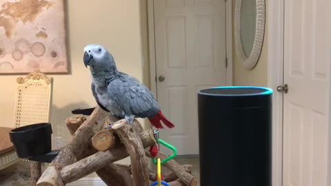 Petra the African Grey a Made Shopping List on Alexa