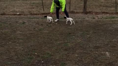 4 day old twin lambs love chasing owner