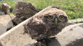 Small Owl can't Resist a Pet