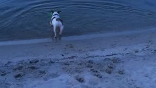 White dog chasing green laser into water  - Video