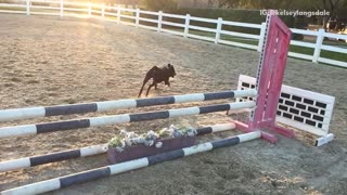 Slowmo black rottweiler jumps horse fence - Video