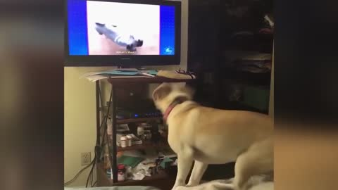 Dog Loves To Leap For TV