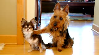 Terrier Immediately Gives Up Little Buddy Under Questioning