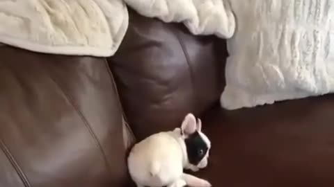 French Bulldog playtime will melt your heart