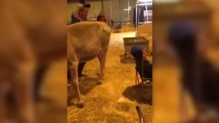 Dirty Pranksters Make A Cow Shit On Their Friends Head - Video
